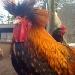 Vasalinis Chicken Cam