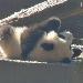 Giant Panda Cam