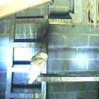 Wirral's Barn Owl Webcam