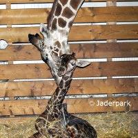 Giraffen im Tierpark Jaderberg