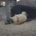 Ducks Cam