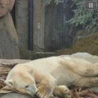 Polar Bear Cam - San Diego Zoo