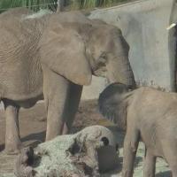 ElefantenCam - San Diego Zoo