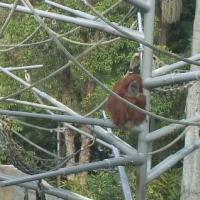 ApeCam - San Diego Zoo