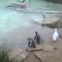 Pinguine im Zoo Dublin