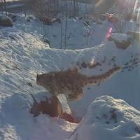 Schneeleoparden im Tallinn Zoo