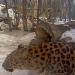 Amurleoparden im Tallinn Zoo