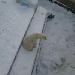 Eisbären im Zoo von Nowosibirsk