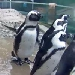 Pinguin Cam im Vancouver Aquarium