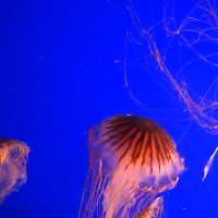 Jelly Cam im Vancouver Aquarium