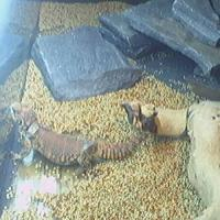 Mayhems Lizard Cam