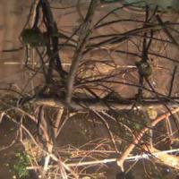 Squirrel Monkeys im Edinburgh Zoo