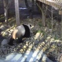 Pandas im Endinburgh Zoo