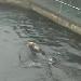 Otter im Vancouver Aquarium