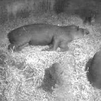 Tapire auf der Noah´s Ark Zoo Farm