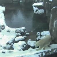 Eisbären im Aalborg Zoo