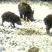 Wildschwein Cam Estland