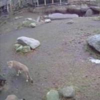 Löwen im Aalborg Zoo