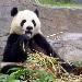 Georgias Panda Project