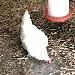 Chicken Cam