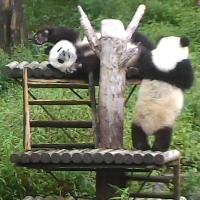 Panda Jungtiere