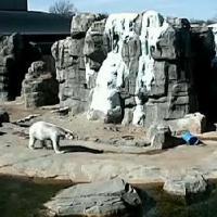Eisbären im Kansas City Zoo