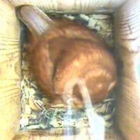 Eastern Screech Owl Cam