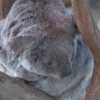 Koalafornia im San Diego Zoo
