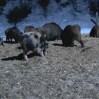 Wildschweincam