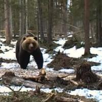 Braunbären in Alutaguse