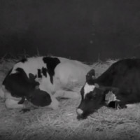 Animal Planet - Calf Cam