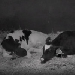 Animal Planet - Calf Cam