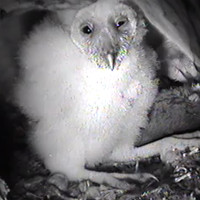 Audubon Starr Ranch Barn Owls
