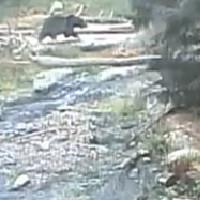 Braunbären im Woodland Park Zoo