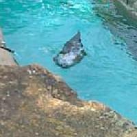 Seelöwen im Pittsburgh Zoo