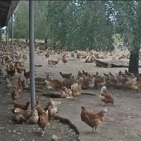 Hühner in Nieuwkuijk