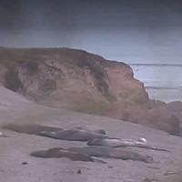 Seeelefanten im California State Park