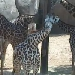 Giraffen im Zoo Houston