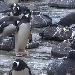 Pinguine im Edinburgh Zoo